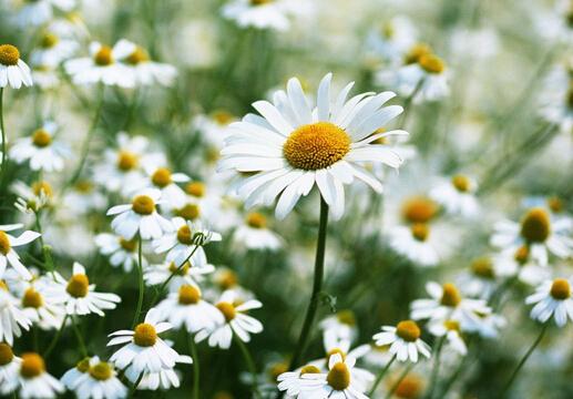 雏菊对家居环境的影响-雏菊与家居风格的搭配